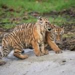 Tiger Cubs Woburn Safari Park (Jan 2016)-58_Web